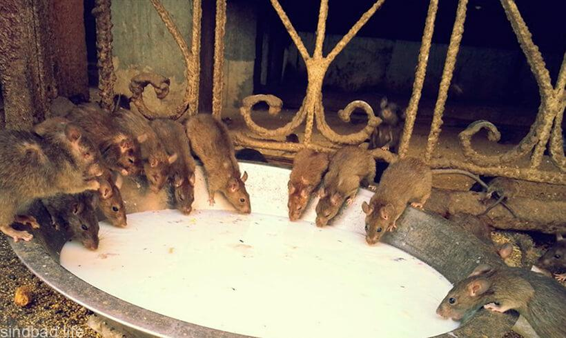 Картинка с храмом крыс